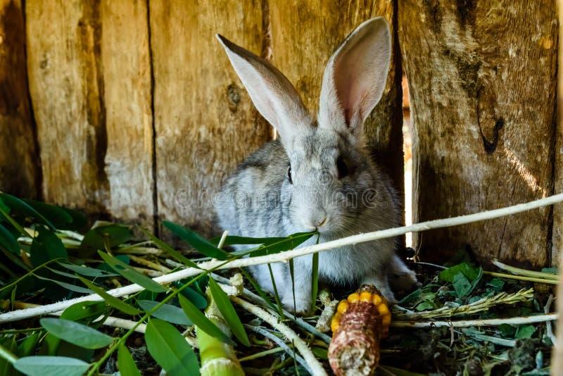 Liten grå kanin som äter gräs i en bur arkivfoto