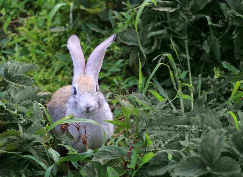 Liten grå kanin som sitter i det gröna gräset royaltyfria foton