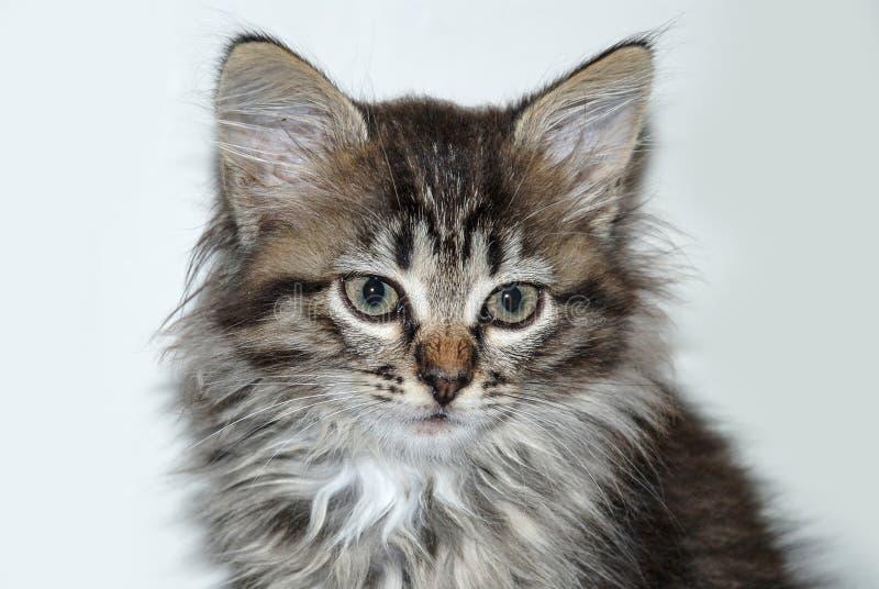 Liten grå kattungestående som isoleras upp på vit bakgrund arkivfoton