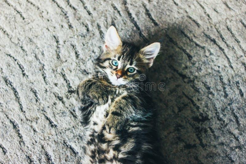 Liten grå randig kattunge Maine Coon flera månader som ligger på golv och ser kameran arkivbild