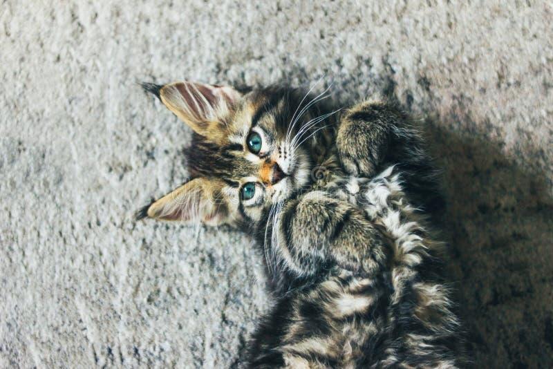 Liten grå randig kattunge Maine Coon flera månader som ligger på golv och ser kameran royaltyfria foton