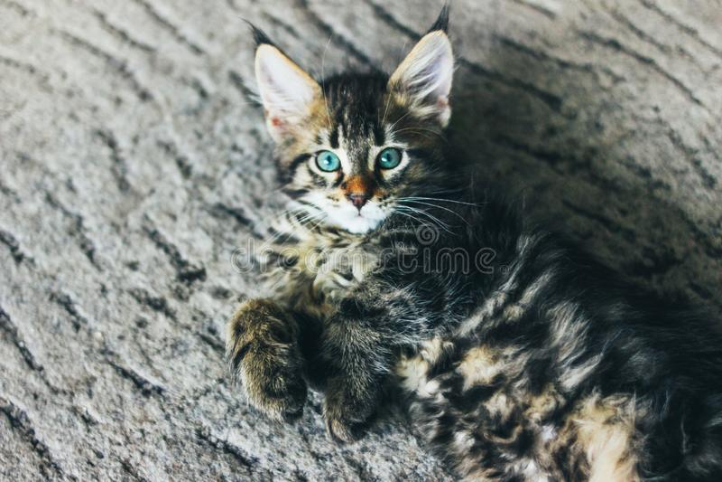 Liten grå randig kattunge Maine Coon flera månader som ligger på golv och ser kameran arkivfoton