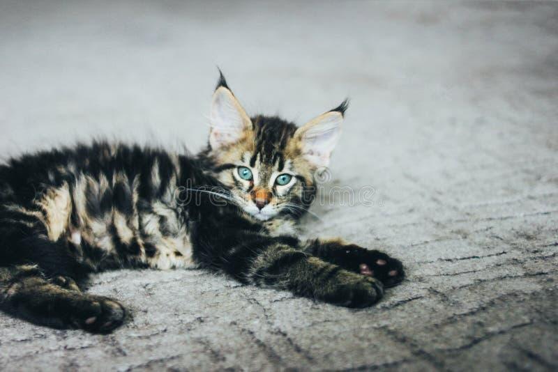Liten grå randig kattunge Maine Coon flera månader som ligger på golv och ser kameran arkivbilder