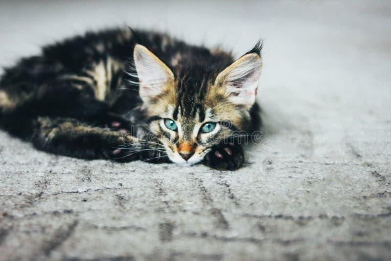 Liten grå randig kattunge Maine Coon flera månader som ligger på golvet och ser kameran fotografering för bildbyråer