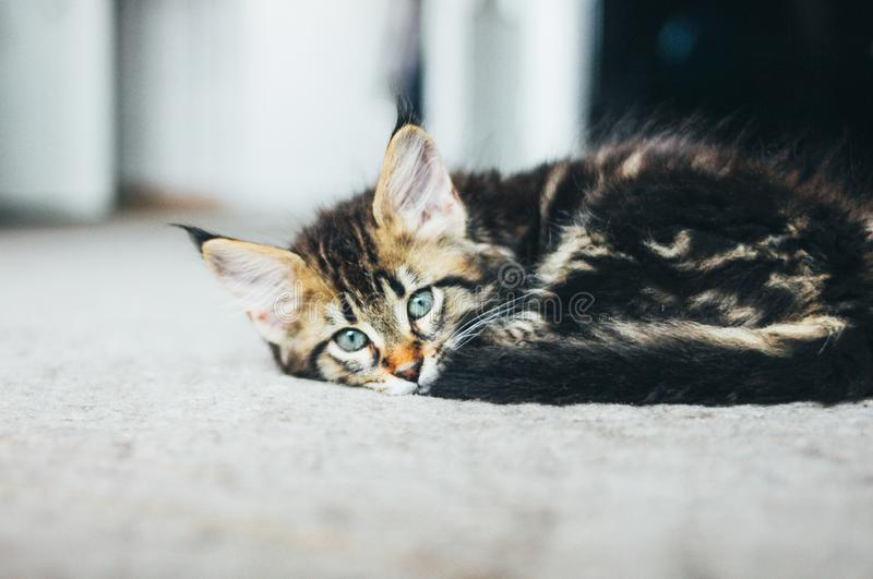 Liten grå randig kattunge Maine Coon flera månader som ligger på golvet och ser kameran royaltyfri bild