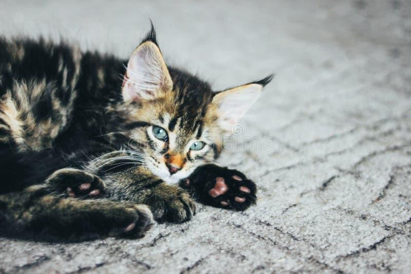 Liten grå randig kattunge Maine Coon flera månader som ligger på golvet och ser kameran royaltyfri fotografi