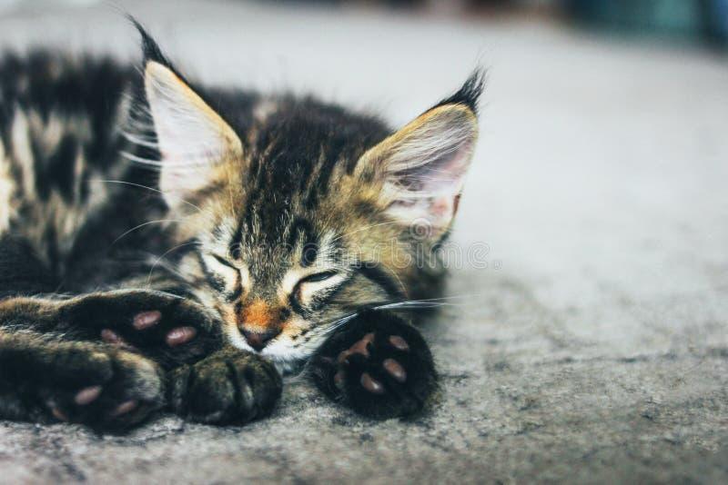 Liten grå sova randig kattunge Maine Coon flera månader som ligger på golv och ser kameran royaltyfria foton