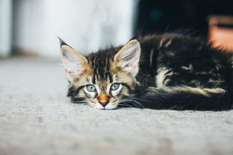 Liten grå sova randig kattunge Maine Coon flera månader som ligger på golv och ser kameran royaltyfria bilder