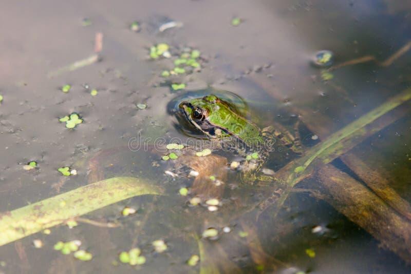 Liten grön groda som vilar i dammvatten royaltyfria foton