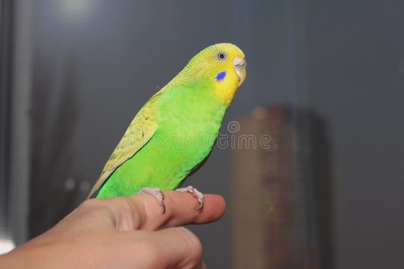 Liten grön parakiter som sitter på handen Gullig liten papegoja Australisk undulat tam fågel royaltyfri fotografi