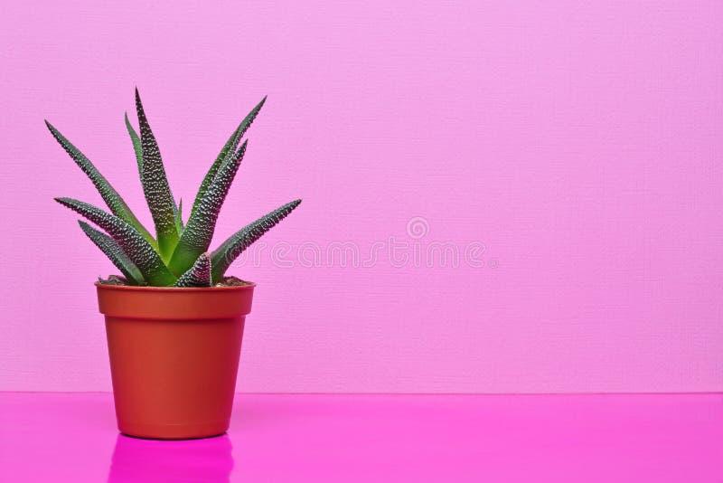 Liten grön suckulent i röd blomkruka på ljus rosa bakgrund fotografering för bildbyråer