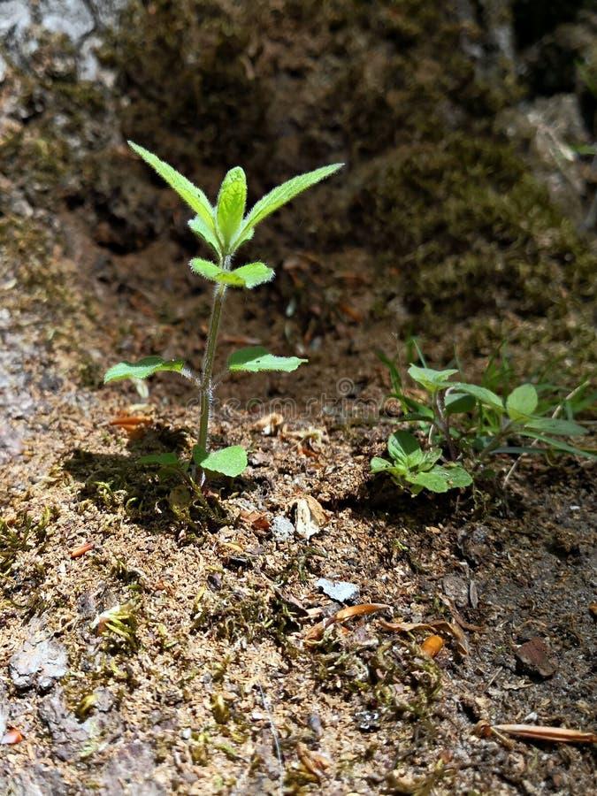 Liten grön växt i skogen - nytt liv i vårtid - groddar royaltyfri fotografi