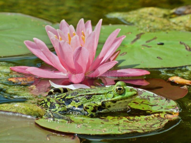 Liten grön waterfrog framme av ett rosa blommande vatten lilly arkivbilder