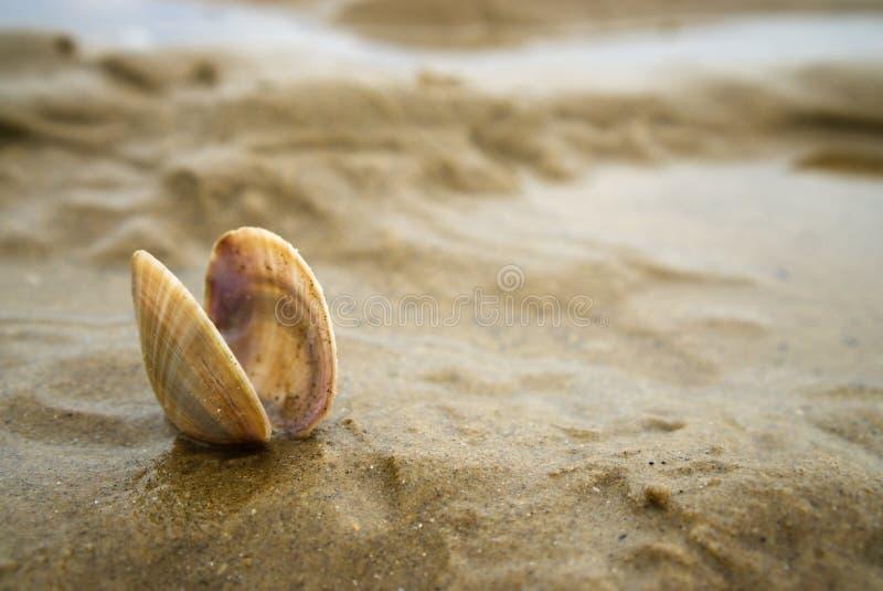Liten gröngöling för kammusslaskal i sanden arkivfoton