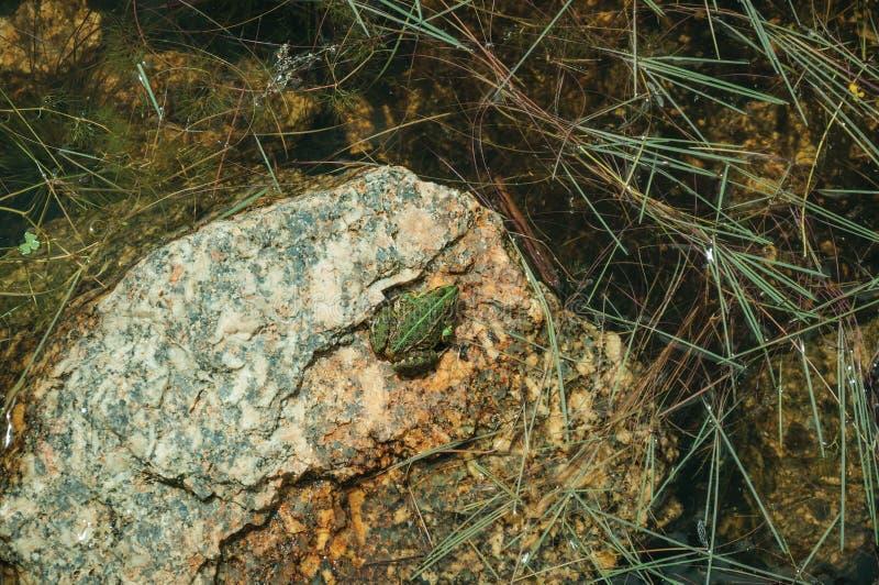 Liten gr?n groda p? stenen bland vatten royaltyfria foton