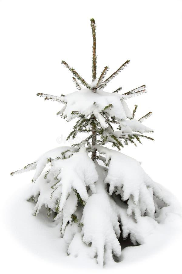 Liten gran i snön royaltyfri foto
