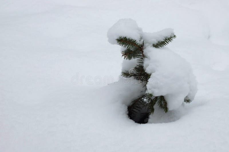 Liten gran som täckas med snö royaltyfri fotografi