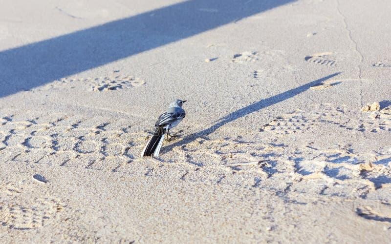 Liten Gray Wagtail On The Sandy kust arkivbild