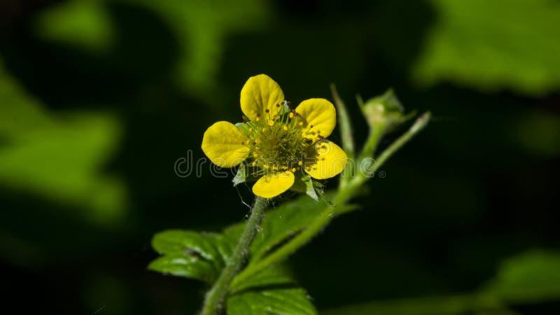 Liten gul blomma av närbilden för urbanum för träavens eller geum, selektiv fokus, grund DOF royaltyfri foto