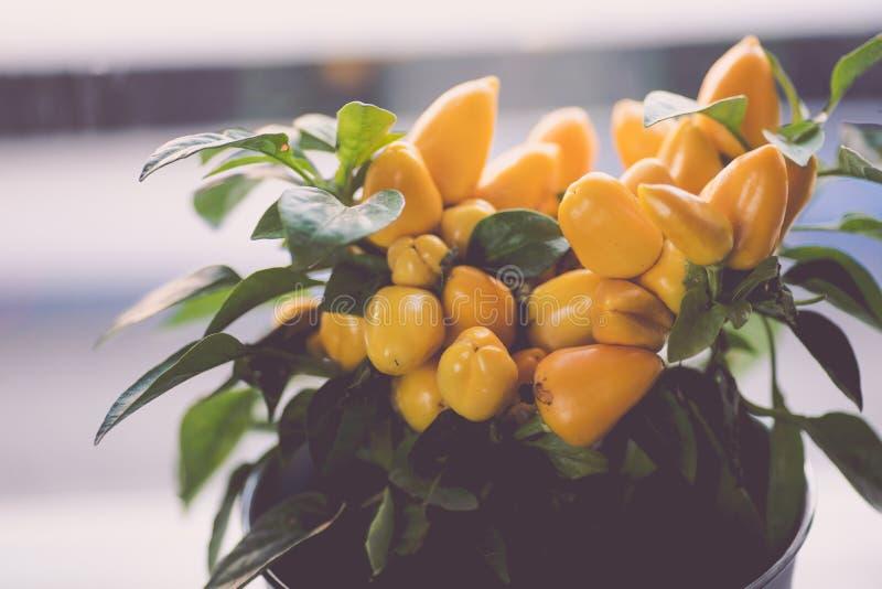Liten gul buske för varma peppar i en vit kruka fotografering för bildbyråer