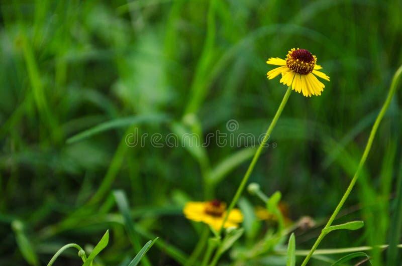 Liten gul fältunder av bakgrund arkivfoton