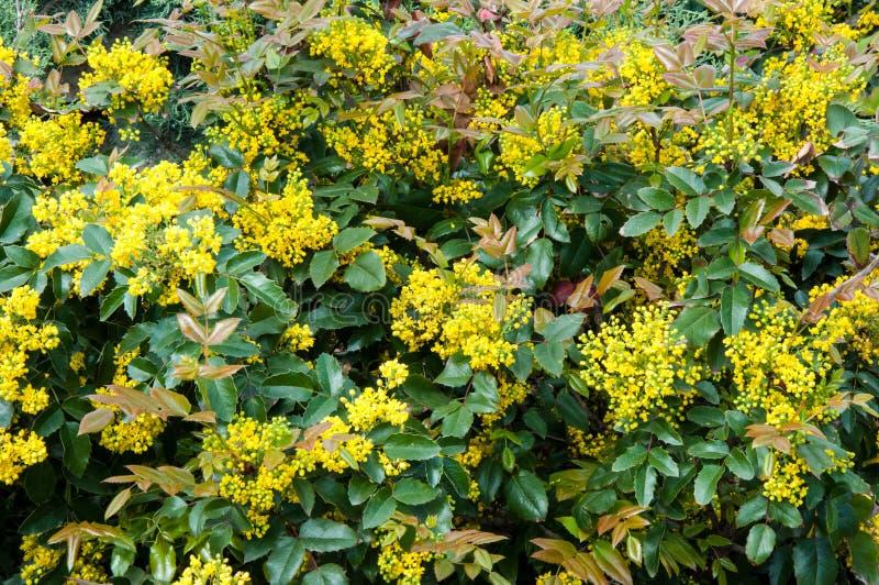 Liten guling blommar mahonia arkivbilder