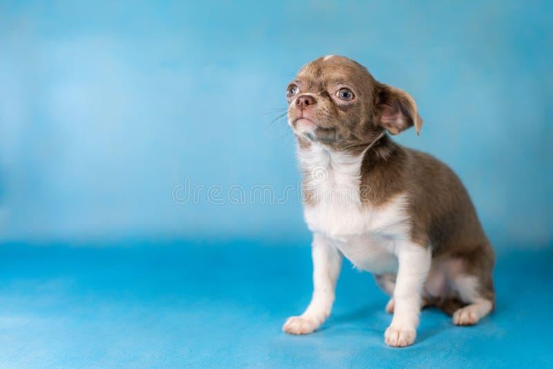 Liten gullig Chihuahuahundavel background card congratulation invitation arkivfoton
