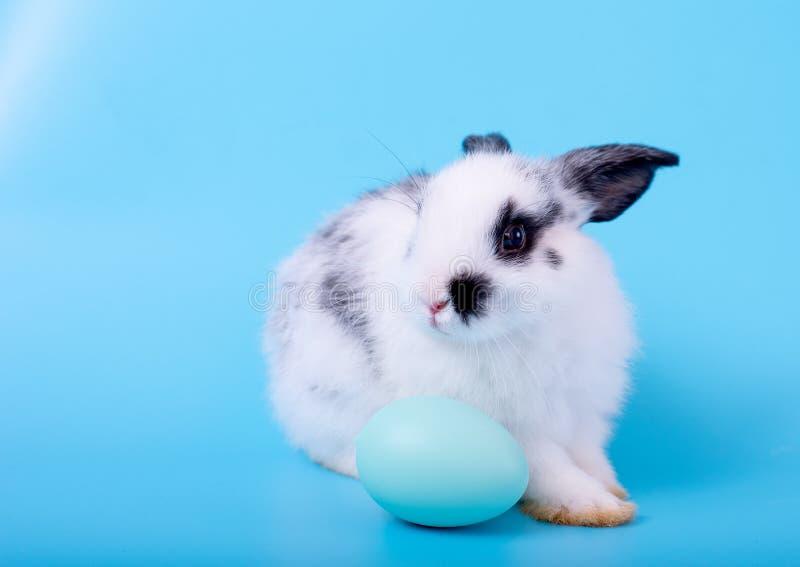 Liten gullig förtjusande och fluffig kaninkanin med det svartvita modellstaget bak det blåa ägget med blå bakgrund royaltyfri fotografi