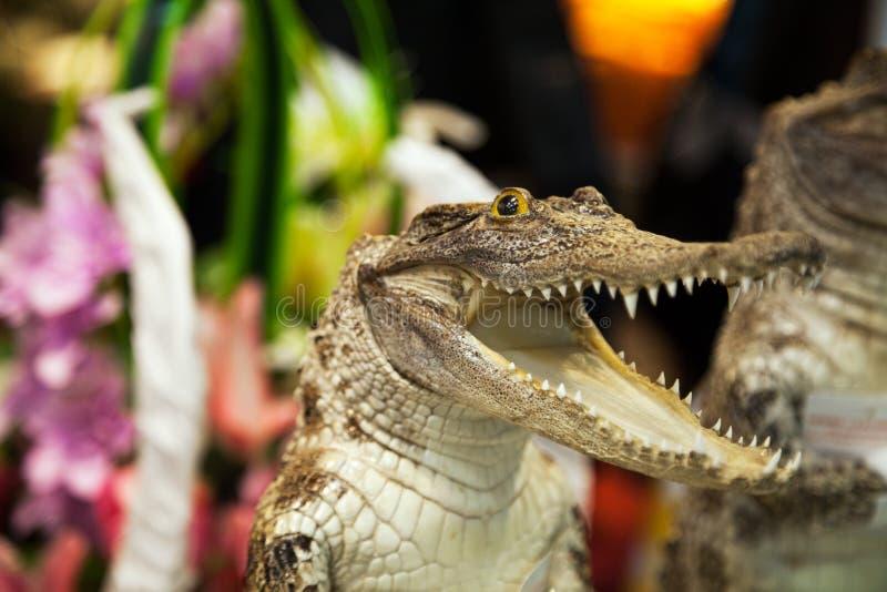 Download Liten Gullig Krokodil Som Skrattar Med Den öppna Munnen Med Lotten Av Tänder Reptilattack Arkivfoto - Bild av reptil, huvud: 78729070