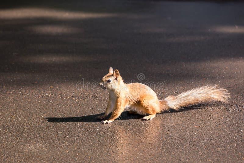 Liten gullig röd ekorre på asfaltbanan arkivfoto