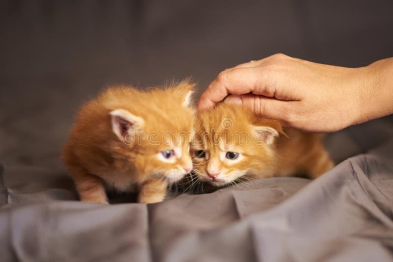 Liten gullig röd kattungeMaine Coon lögn på en grå bakgrund, under försiktigt slå av handen royaltyfri foto