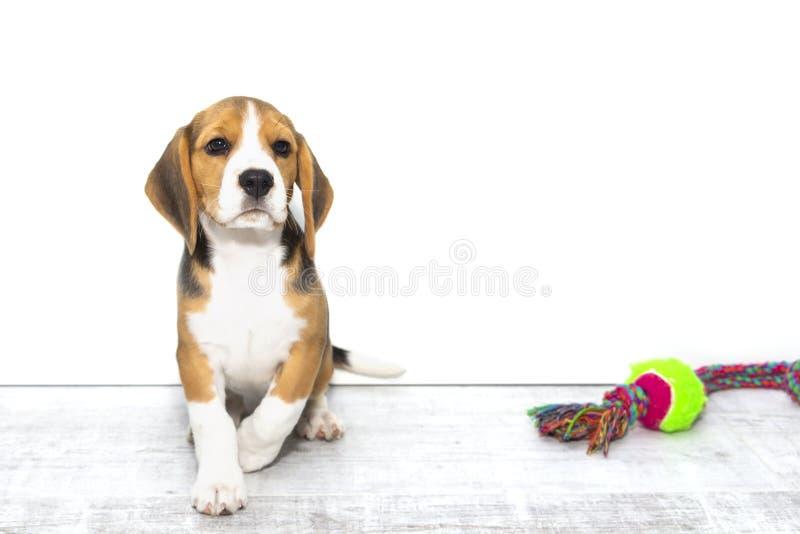 Liten gullig tricolor beaglevalp, ledsen blick, vit isolerad bakgrund royaltyfria bilder