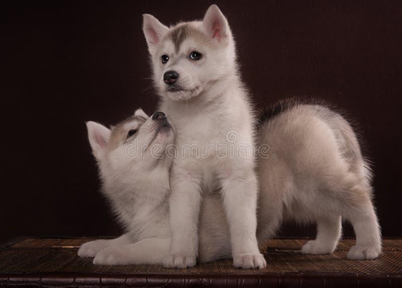 Liten gullig valp två av den Siberian skrovliga hunden royaltyfria foton
