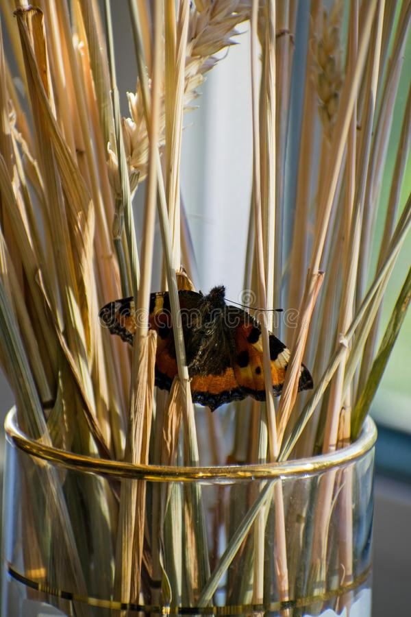 Liten härlig fjäril i veteöron Closeupen av fjärilen i ett vete gå i ax royaltyfri bild