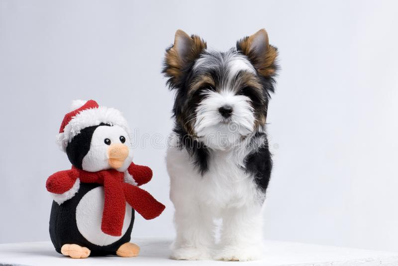 Liten härlig hundbiewerYorkshire Terrier valp arkivbild