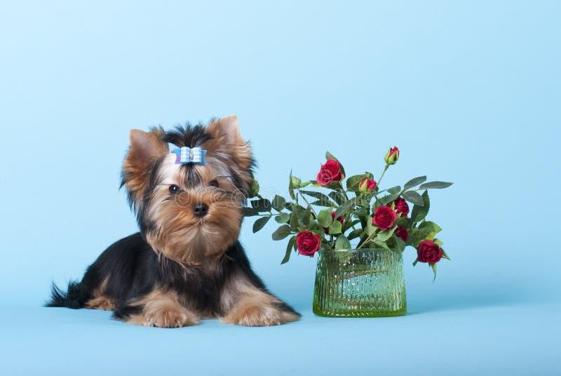 Liten härlig hundYorkshire Terrier valp royaltyfria bilder
