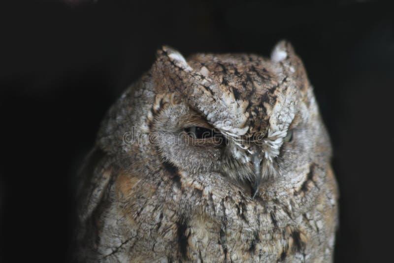 Download Liten härlig owl 1 arkivfoto. Bild av angus, natt, jägare - 27287368
