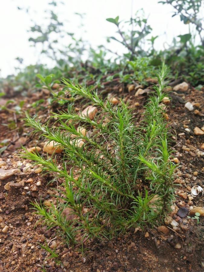 Liten härlig växt för bergsidor arkivbilder