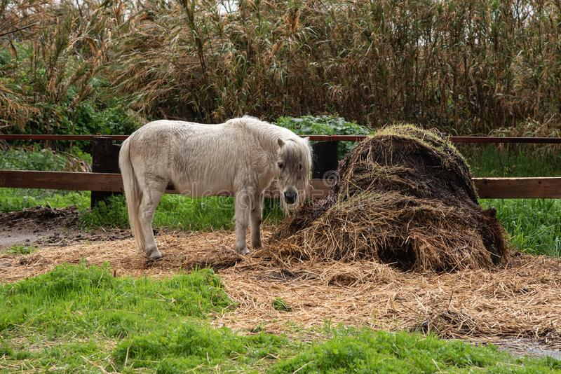Liten härlig vit inhemsk ponnydjurmatning arkivfoto