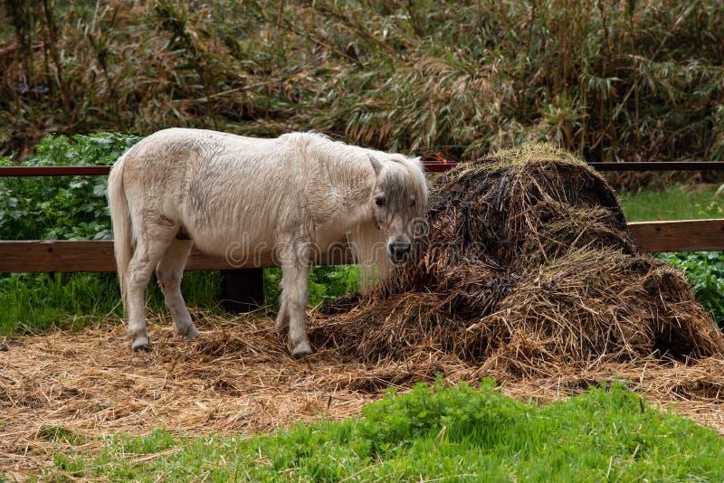 Liten härlig vit inhemsk ponnydjurmatning royaltyfria bilder