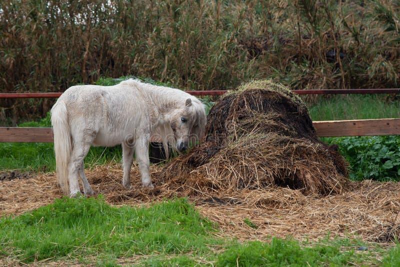 Liten härlig vit inhemsk ponnydjurmatning royaltyfri bild