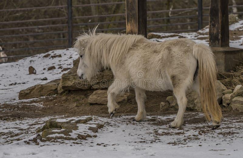 Liten häst i ZOO Liberec i vinterdag arkivbilder