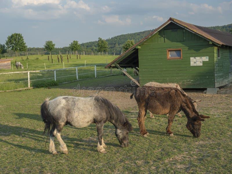 Liten hästponny och åsna som betar i en fålla med det trästallet för lantgårdhusskjul i guld- timmeljus för eftermiddag på royaltyfri foto