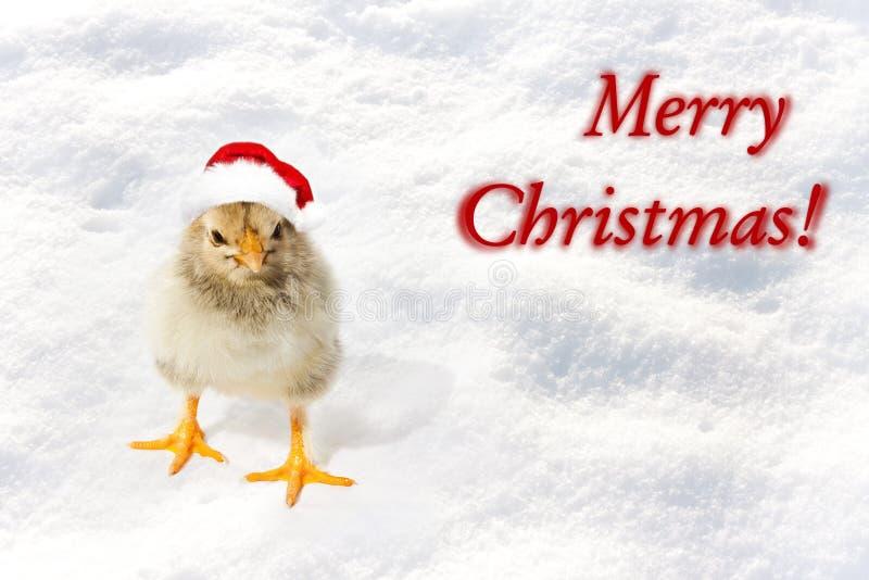 Liten höna i de röda jultomtenhattarna Glad jul, lyckligt nytt arkivfoton