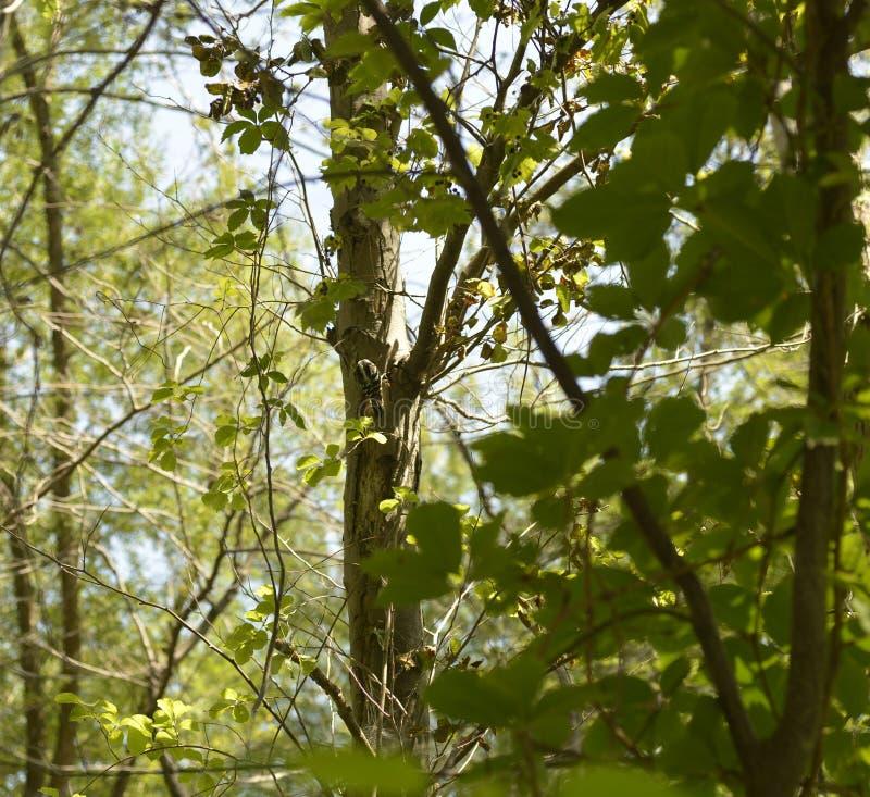 Liten hackspett som matar på en trädstam arkivfoton