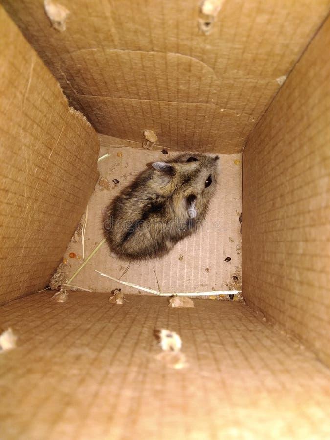 Liten hamster royaltyfri bild
