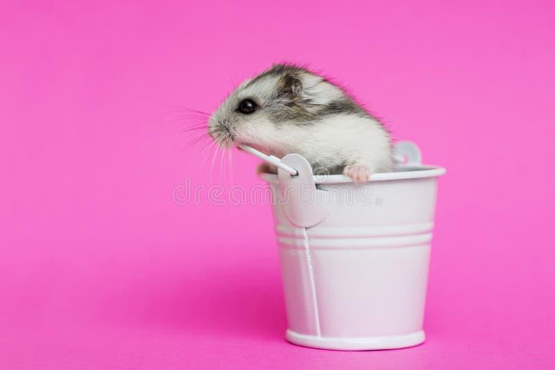 Liten hamster i den vita dekorativa hinken på rosa bakgrund med kopieringsutrymme Gray Syrian hamster i hink Behandla som ett bar royaltyfria bilder
