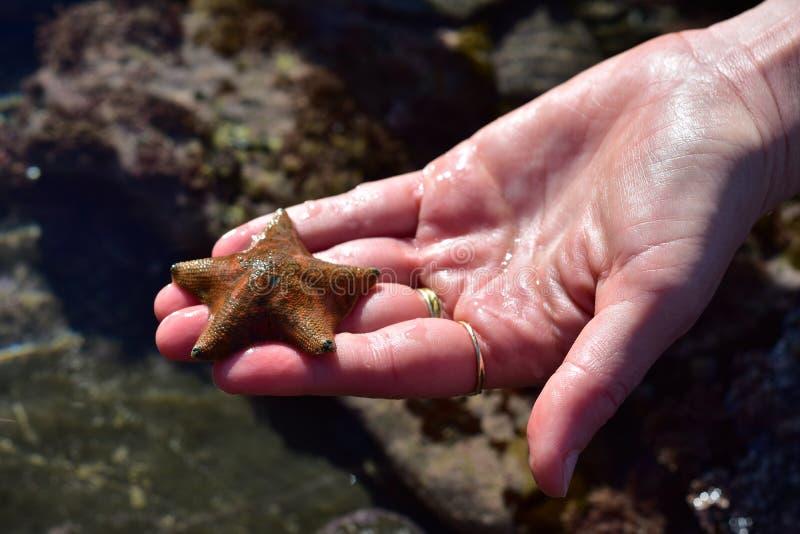 Liten havsstjärna i hand arkivfoton