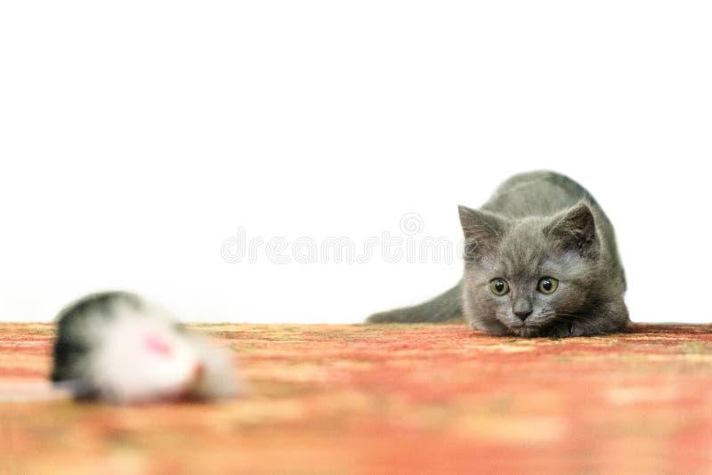 Liten hem- grå kattunge som spelar jaga en leksakmus Förbereda sig att kasta royaltyfri bild