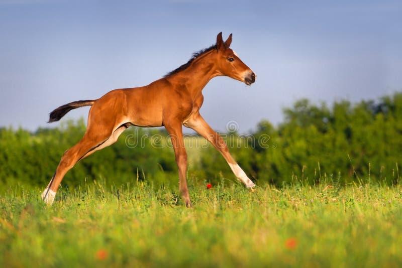 Liten hingstfölhästkörning royaltyfri foto